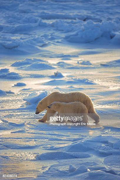 Polar bear mother and baby