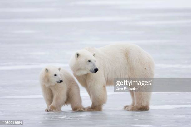 polar bear (ursus maritimus) mother and cub, churchill, manitoba, canada - vista lateral stock pictures, royalty-free photos & images