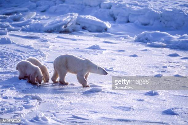 polar bear mother and two cubs on icy hudson bay - hudson bay stock photos and pictures