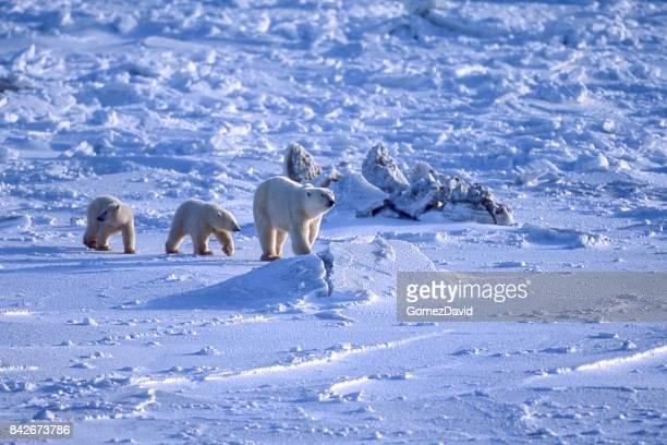ネコの母と 2 つのアイス hudson 湾カブズ - 動物の親子 ストックフォトと画像