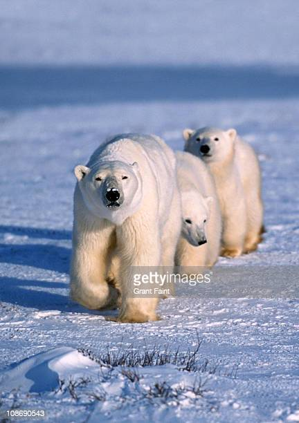 polar bear mother and two cubs. - manitoba stock pictures, royalty-free photos & images