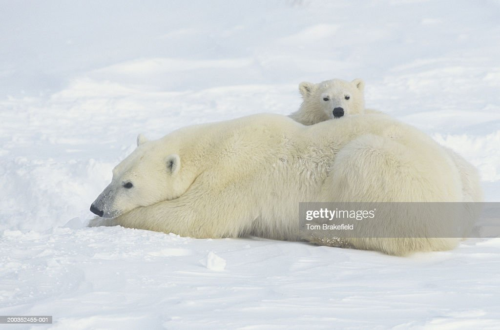 Polar bear (Ursus maritimus) mother laying with cub, Canada : Stock-Foto