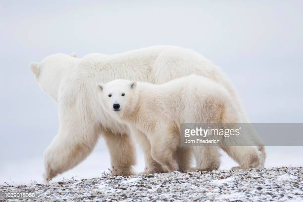 polar bear (ursus maritimus) mother with cub, churchill, manitoba, canada - vista lateral stock pictures, royalty-free photos & images