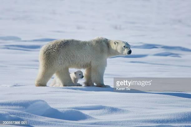 Polar bear (Ursus maritimus) mother with cub on snow