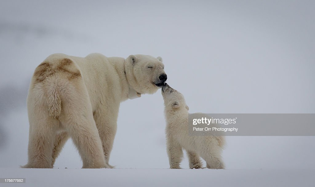 Polar Bear mother with cub : Stock Photo