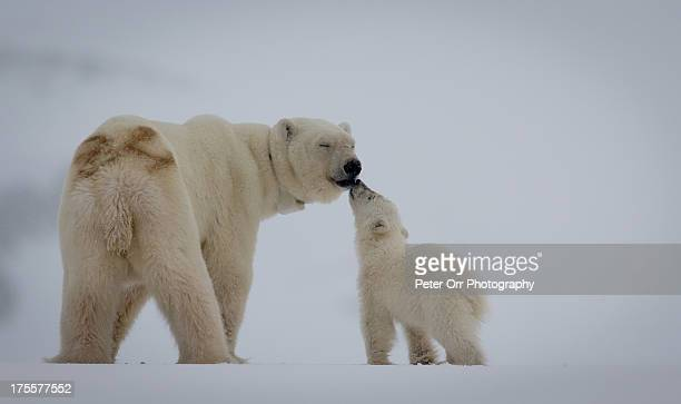 polar bear mother with cub - animal family stock pictures, royalty-free photos & images