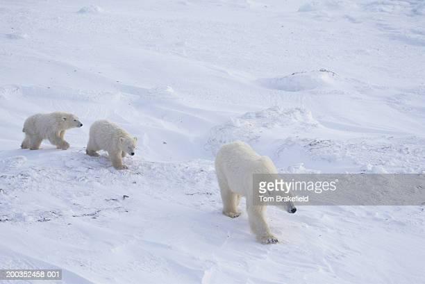 Polar bear (Ursus maritimus) mother with cubs, Canada
