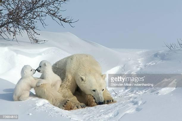 Polar bear (Ursus maritimus) mother with twin cubs, Wapusk National Park, Churchill, Hudson Bay, Manitoba, Canada, North America