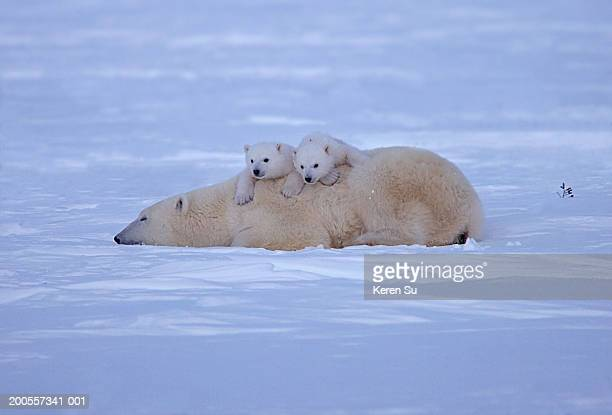 Polar bear (Ursus maritimus) mother with two cubs lying on snow