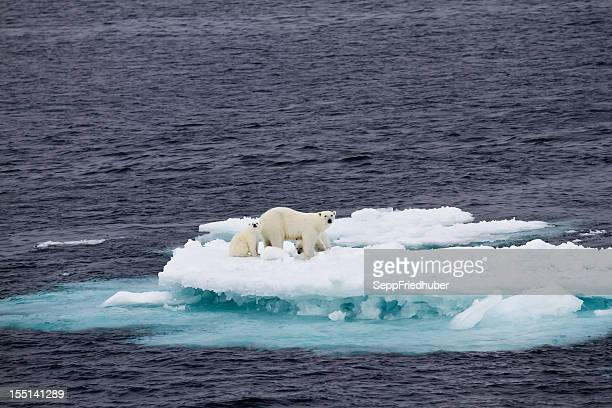 polar bear mother with two cubs  on an ice floe - ijsschots stockfoto's en -beelden
