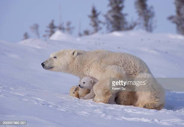 Polar bear (Ursus maritimus) mother with two cubs on snow