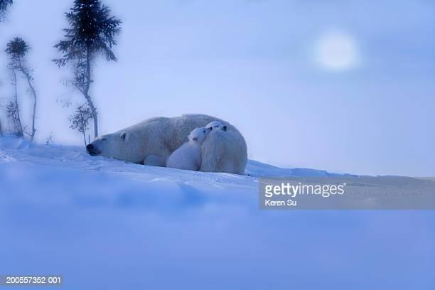 Polar bear (Ursus maritimus) mother with two cubs