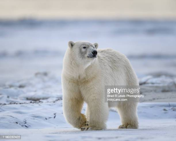 polar bear moving across the snow and ice - polar bear stock pictures, royalty-free photos & images
