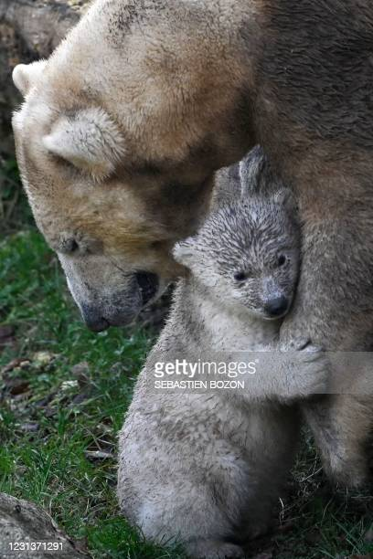 Polar bear named Sessi and its cub, Kara, are seen in their enclosure at the Zoological and Botanical park in Mulhouse, eastern France, on February...