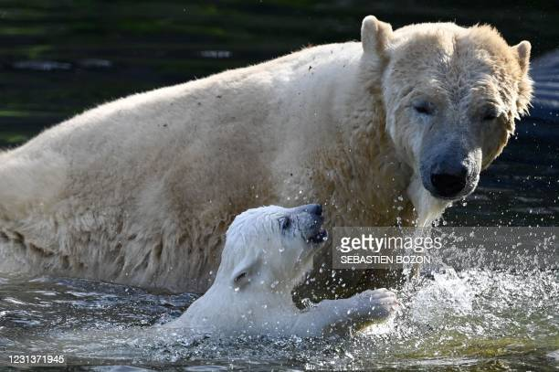 Polar bear named Sessi and its cub, Kara, play in the water in their enclosure at the Zoological and Botanical park in Mulhouse, eastern France, on...