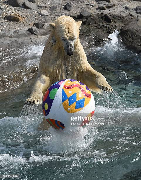 Polar bear Nanuq plays with an Easter egg in her enclosure at the zoo in Hanover central Germany on April 3 2014 The egg was a trophy from an Easter...