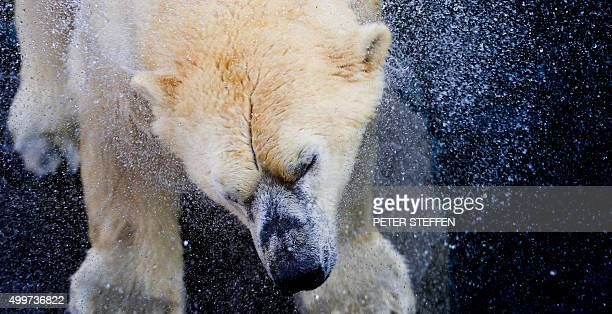 TOPSHOT Polar bear Nanuq shakes the water off his coat at the zoo in Hanover central Germany on December 3 2015 / AFP / DPA / PETER STEFFEN