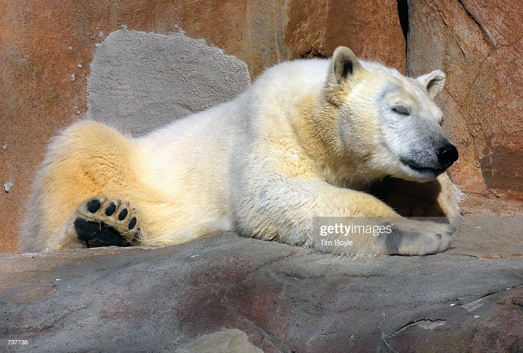 A polar bear naps in the sun February 2, 2001 at Brookfield