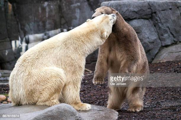 Polar bear Noel meets her new male partner Nord for the first time in Copenhagen Zoo on Tuesday April 12 2017 in Copenhagen Denmark Nord arrived to...
