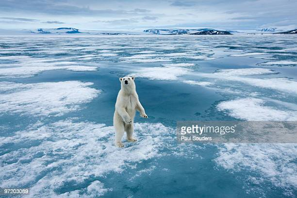 polar bear, nordaustlandet, svalbard, norway - climate change stock pictures, royalty-free photos & images