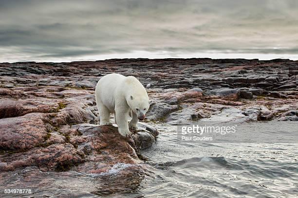 Polar Bear, Nunavut Territory, Canada