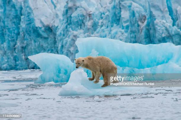 polar bear (ursus maritimus) on a ice floe in front of a glacier, hornsund, svalbard, arctic, norway - drift ice stock pictures, royalty-free photos & images