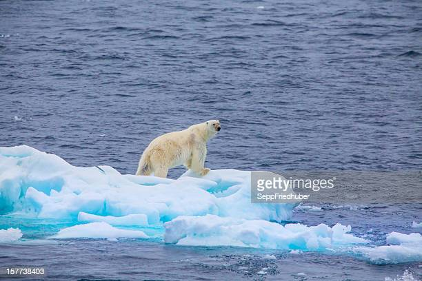 polar bear  on an ice flow - ijsschots stockfoto's en -beelden