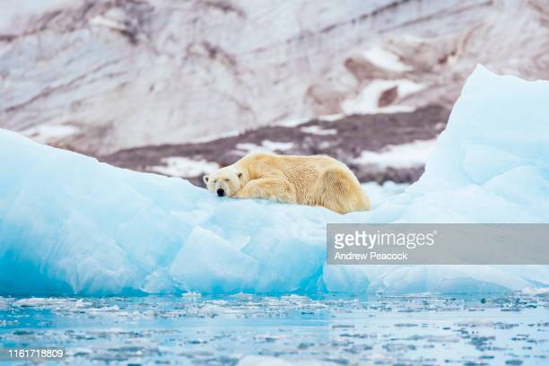 polar bear on an iceberg - polar bear stock pictures, royalty-free photos & images