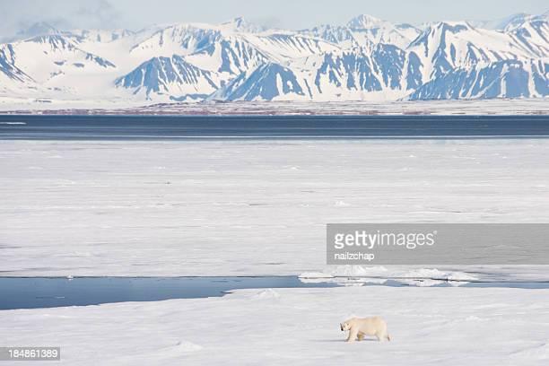 Orso polare artico mare su ghiaccio