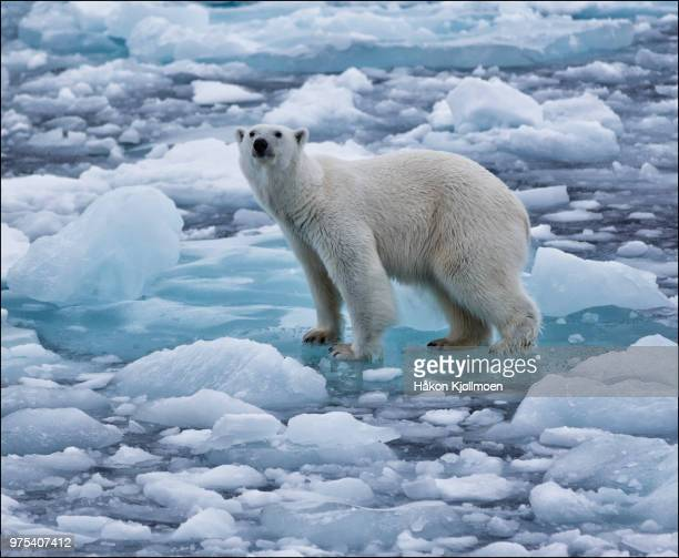 polar bear (ursusmaritimus) on frozen sea, edgeoya, svalbard, norway - polar bear stock pictures, royalty-free photos & images