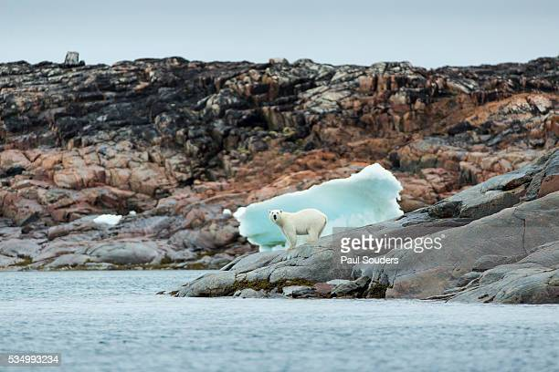 Polar Bear on Harbour Islands, Repulse Bay, Nunavut, Canada