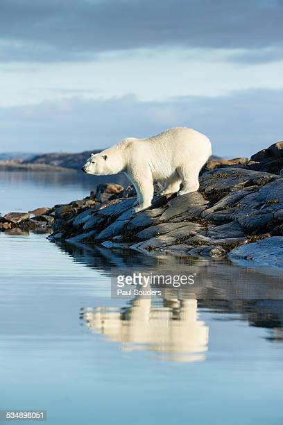 polar bear on hudson bay, nunavut, canada - hudson bay stock photos and pictures