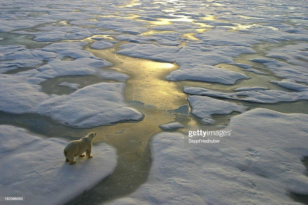 Polar bear on ice close to golden glittering water : Stock Photo