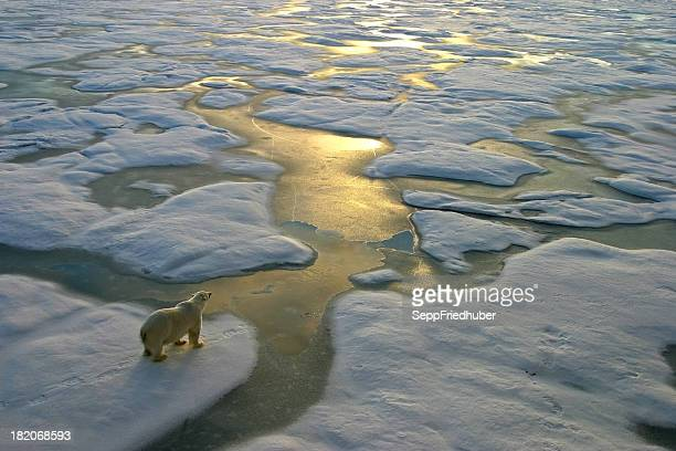 polar bear on ice close to golden glittering water - global warming stock pictures, royalty-free photos & images