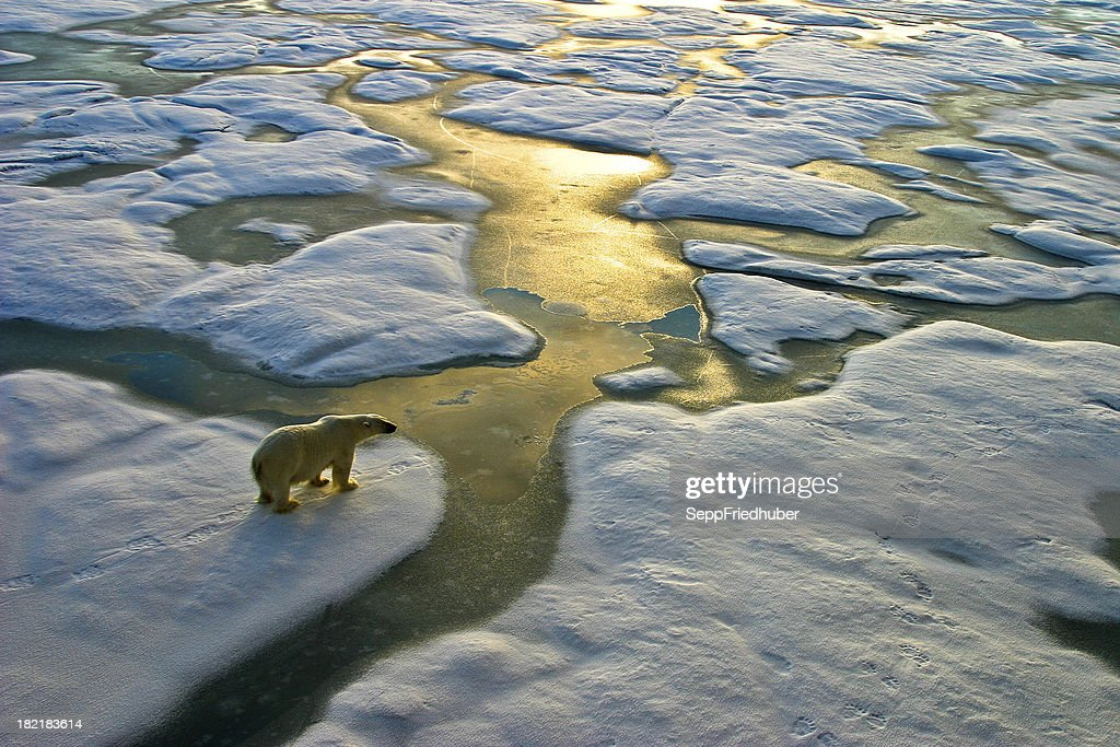 Polar bear on ice close to golden glittering water : Stock Photo
