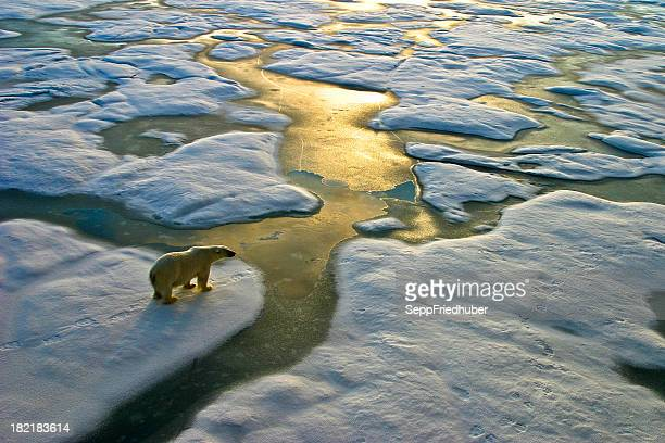 polar bear on ice close to golden glittering water - ijsschots stockfoto's en -beelden