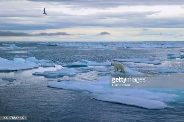 Polar bear (Ursus maritimus) on ice float