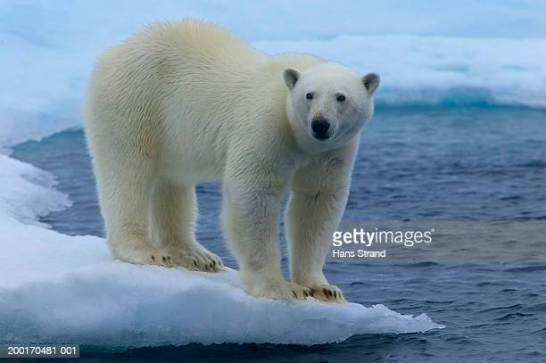 polar bear (ursus maritimus) on ice floe - ice floe stock pictures, royalty-free photos & images