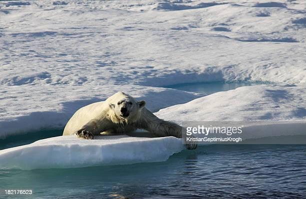 Polar Bear auf Eis