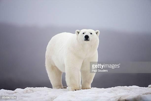polar bear on ice - polar bear stock pictures, royalty-free photos & images