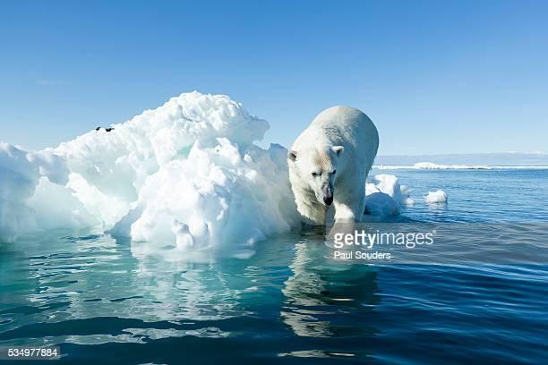 Polar Bear on Iceberg, Hudson Bay, Nunavut, Canada