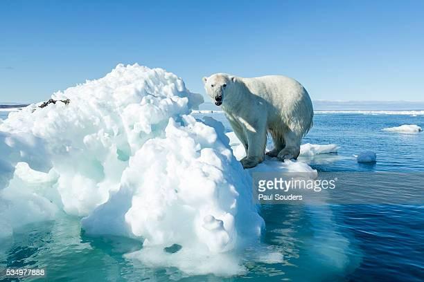 polar bear on iceberg, hudson bay, nunavut, canada - clima polare foto e immagini stock