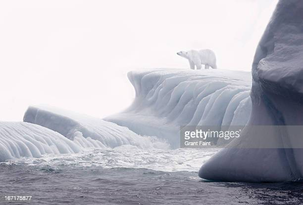 polar bear on iceberg. - newfoundland and labrador stock pictures, royalty-free photos & images
