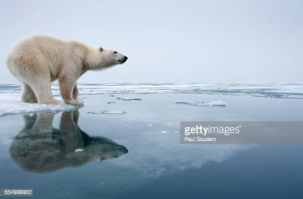 polar bear on melting ice, svalbard, norway - climate change stock pictures, royalty-free photos & images