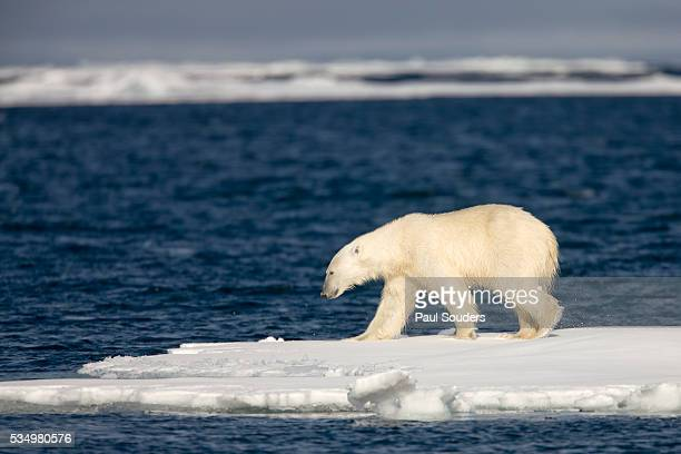 polar bear on melting pack ice at spitsbergen - pack ice stock pictures, royalty-free photos & images