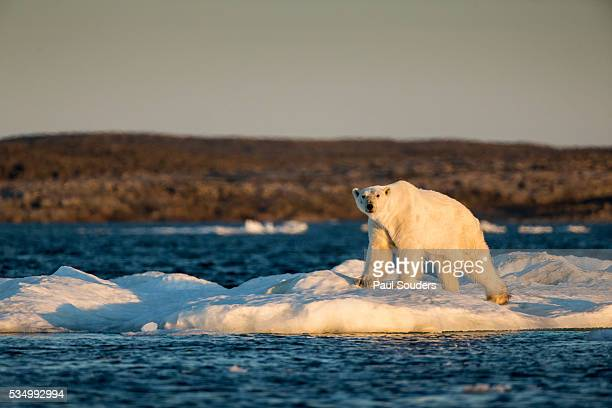 polar bear on melting sea ice, nunavut, canada - malnutrition stock pictures, royalty-free photos & images