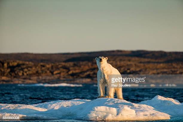 polar bear on melting sea ice, nunavut, canada - underweight stock pictures, royalty-free photos & images