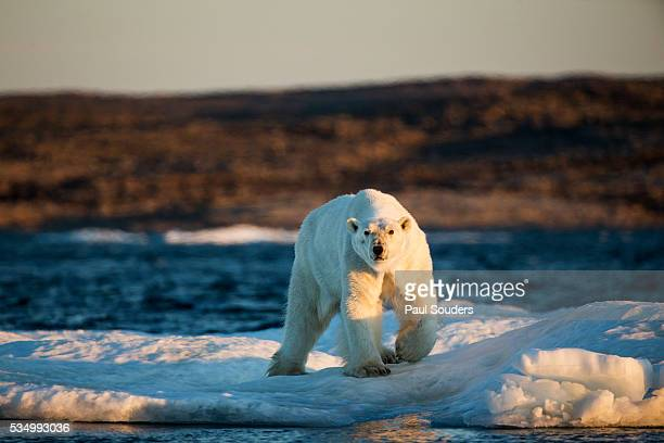 Polar Bear on Melting Sea Ice, Nunavut, Canada