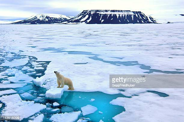 polar bear on pack ice - ijsschots stockfoto's en -beelden