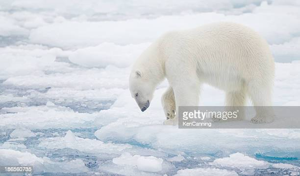 polar bear on pack ice - blue bear stock photos and pictures